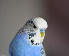 blue budgie